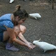 Cockatoos feeding