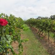 vineryards of hunter valley