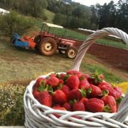 Strawberry-picking-Melbourne